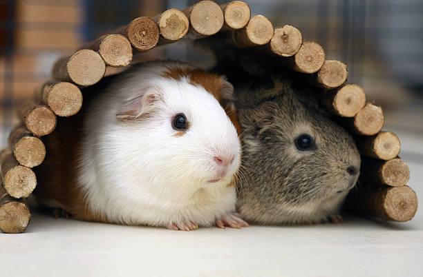 瑞士「天竺鼠相親出租店」幫牠們找個伴